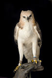 Beauty hawk on falconer's hand Royalty Free Stock Images