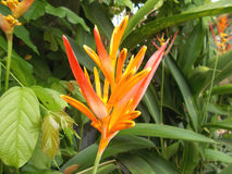 Beauty heliconia Stock Images