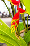 Beauty Heliconia Stock Photo