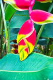 Beauty Heliconia Stock Photos