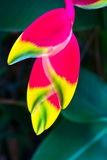 Beauty Heliconia Stock Photography