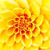 Beauty herbera flower Royalty Free Stock Photo