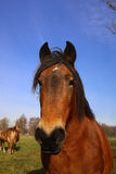 Beauty horse. On the green grass and blue sky Royalty Free Stock Photo