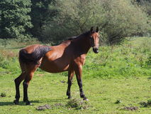 Beauty horse Stock Image