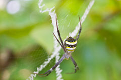 Beauty insect on web in forest Royalty Free Stock Images