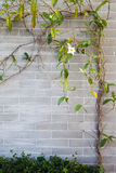Beauty ivy on the wall. Beauty ivy on the brick wall Royalty Free Stock Photo