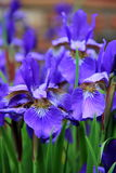 The beauty of a Japanese Iris Stock Image
