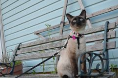 The beauty of Kira the Siamese royalty free stock photo
