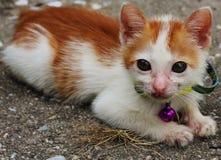 Beauty kitten Stock Images