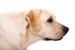Beauty labrador Royalty Free Stock Photo