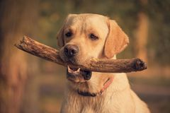 Labrador Retriever dog holding a stick in training. Beauty Labrador Retriever dog holding a stick in training Royalty Free Stock Images