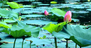 The beauty of the landscape in the lotus pond. Flower garden, garden landscape, the lotus pond lotus in full bloom, lotus leaf a slice of close to one, full of Royalty Free Stock Images