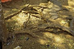 Tree roots. The beauty of large tree roots stock photography