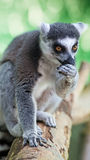 Beauty lemur on the wood Royalty Free Stock Photos