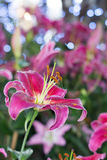 Beauty lily on field closeup blue bokeh Royalty Free Stock Images