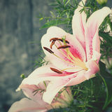 Beauty lily flower Stock Image