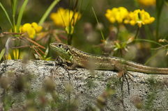 Beauty lizard rest on the fence in dam or reservoir Dushantsi at river Topolnitsa,  Central Balkan mountain, Stara Planina Royalty Free Stock Image