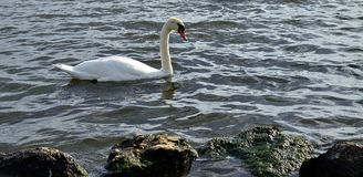 Beauty lonely swan Royalty Free Stock Photography
