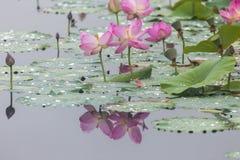 Free Beauty Lotus Lake Stock Image - 77996531