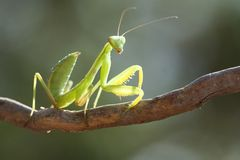 Beauty mantis. Stock Images