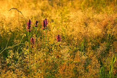 Beauty meadow with lamium purpureum. Violet flowers Royalty Free Stock Photo