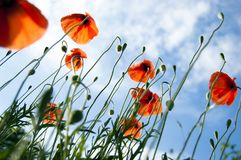 Beauty of meadow with wild red poppies and blue sky, blades of grass, sunbeams and contra light, under view, close up stock photo