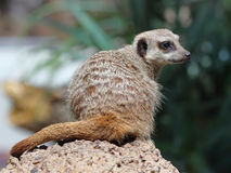 The beauty Meerkat (Suricata suricatta) Stock Photography