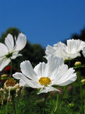 Beauty of nature!. Close-up of white flower with bright, blue sky Royalty Free Stock Images