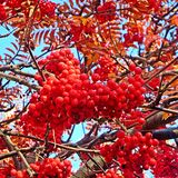 The beauty of the nature on the autumn day. The mahogany of the autumn day in the park.        The tree with red fruit Royalty Free Stock Photo