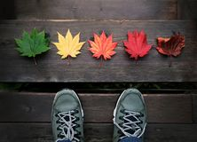 Beauty in Nature Concept. A Travelver Standing in front of Variety Color of Maple Leaves on Wooden Floor, Top View royalty free stock image