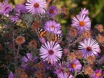 Butterfly on autumn flowers royalty free stock image