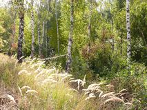 Russian birches in the forest royalty free stock photo