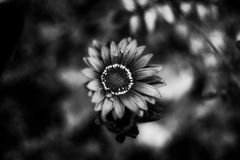 Flowers in black and white Royalty Free Stock Photo