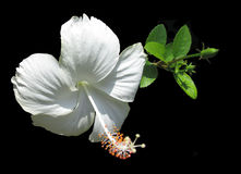 White flower of HIBISCUS. Isolated on a black. Green bud of a white HIBISCUS Stock Photo