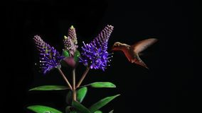 Hummingbird feeding on Blooming Flowers. Beauty in nature. Isolated on black background stock footage