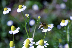 A beauty of nature. A little bees on the white flowers Stock Photography