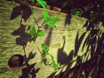 Light and shadow with green plants on the fence Stock Photography