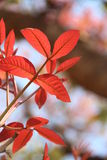 Red Leaves, Beauty in nature Royalty Free Stock Image
