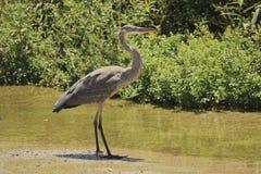 Crane bird tall and thin. Tall thin gray and white crane taking a serene walk along the river Royalty Free Stock Photos