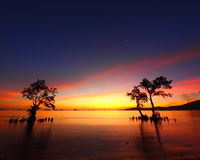 Beauty in Nature. Three Mangroves try to survive in a sunset view Royalty Free Stock Photos