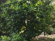 Tree with oranges. The beauty in nature. The beauty of nature. Tree detail in garden with oranges stock photography