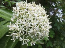 Beauty of one of the white asoca flowers stock photos