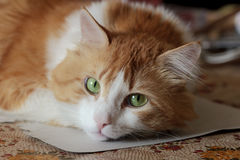 Beauty orange orange white cat in dreams Royalty Free Stock Image