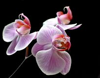 Beauty orchid Royalty Free Stock Photography