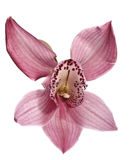 Beauty orchid Royalty Free Stock Images