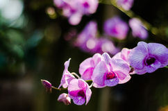 The beauty of the orchids flower Stock Photography