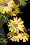 Beauty of the osteospermum flower. Osteospermum adds instant cheer and beauty to spring and fall gardens with its colorful, daisy-shape flowers and dark green stock photography