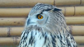 Beauty owl turning its head back stock video footage