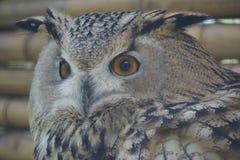 Beauty owl turning its head back Stock Photography