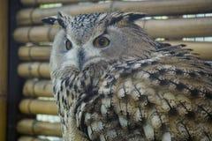 Beauty owl turning its head back Royalty Free Stock Photography